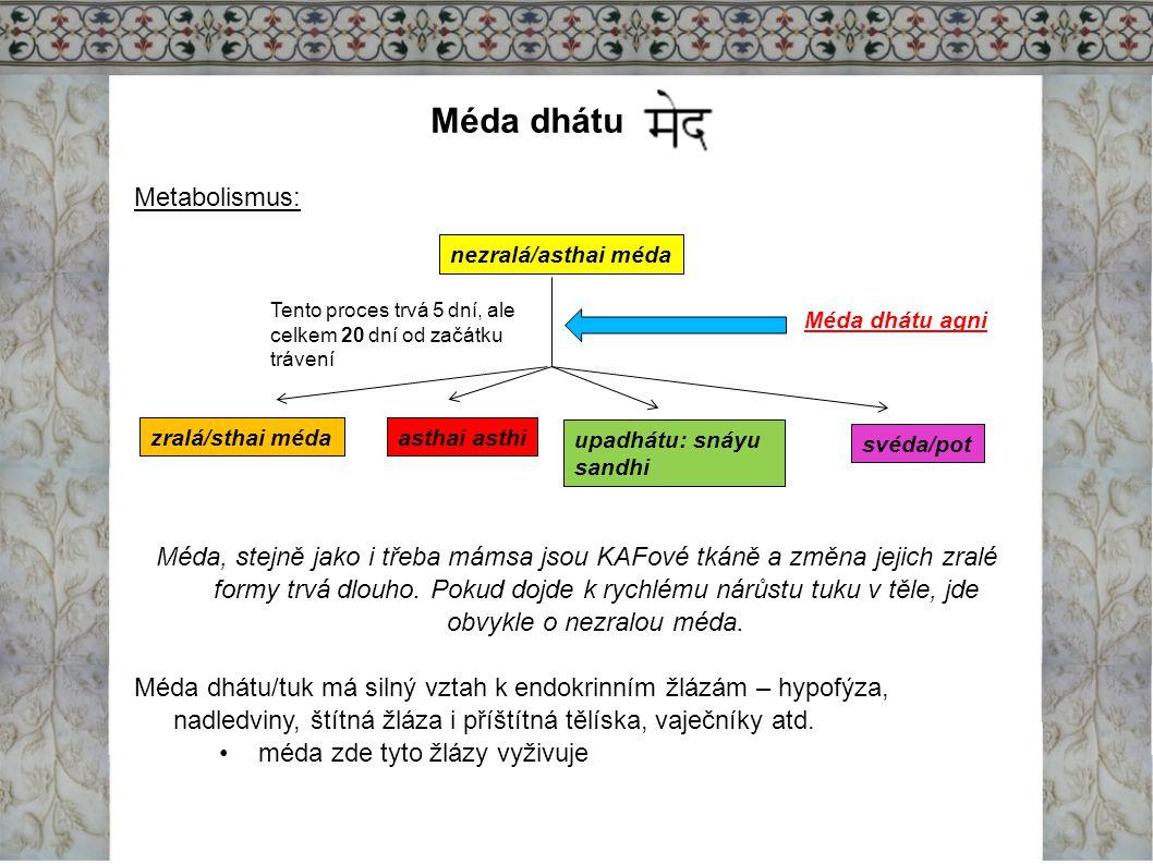 Méda dhátu Metabolismus: Méda, stejně jako i třeba mámsa jsou KAFové tkáně a změna jejich zralé formy trvá dlouho. Pokud dojde k rychlému nárůstu tuku