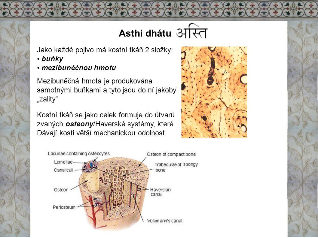 Asthi dhátu Jako každé pojivo má kostní tkáň 2 složky: buňky mezibuněčnou hmotu Mezibuněčná hmota je produkována samotnými buňkami a tyto jsou do ní j