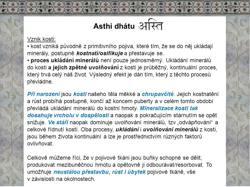 Asthi dhátu Vznik kosti: kost vzniká původně z primitivního pojiva, které tím, že se do něj ukládají minerály, postupně kostnatí/osifikuje a přestavuj