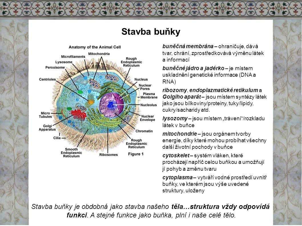 Stavba buňky buněčná membrána – ohraničuje, dává tvar, chrání, zprostředkovává výměnu látek a informací buněčné jádro a jadérko – je místem uskladnění