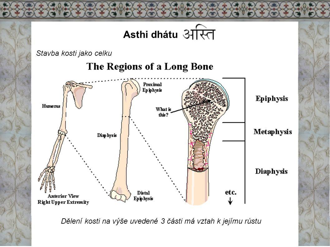 Asthi dhátu Stavba kosti jako celku Dělení kosti na výše uvedené 3 části má vztah k jejímu růstu