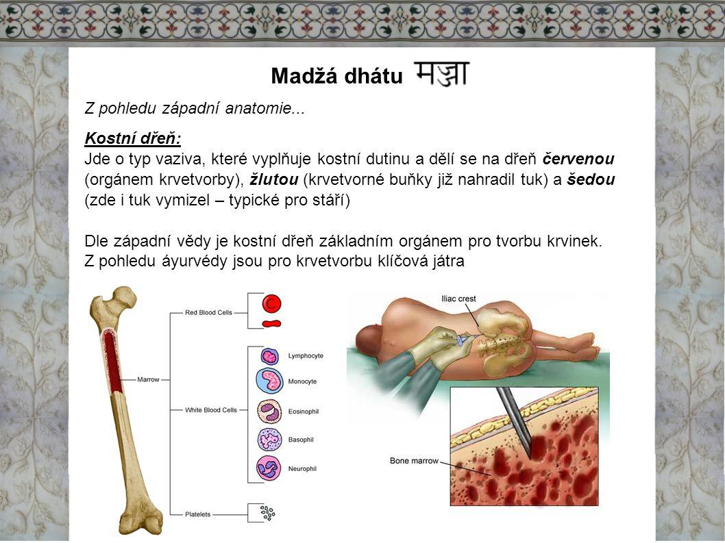 Madžá dhátu Z pohledu západní anatomie... Kostní dřeň: Jde o typ vaziva, které vyplňuje kostní dutinu a dělí se na dřeň červenou (orgánem krvetvorby),