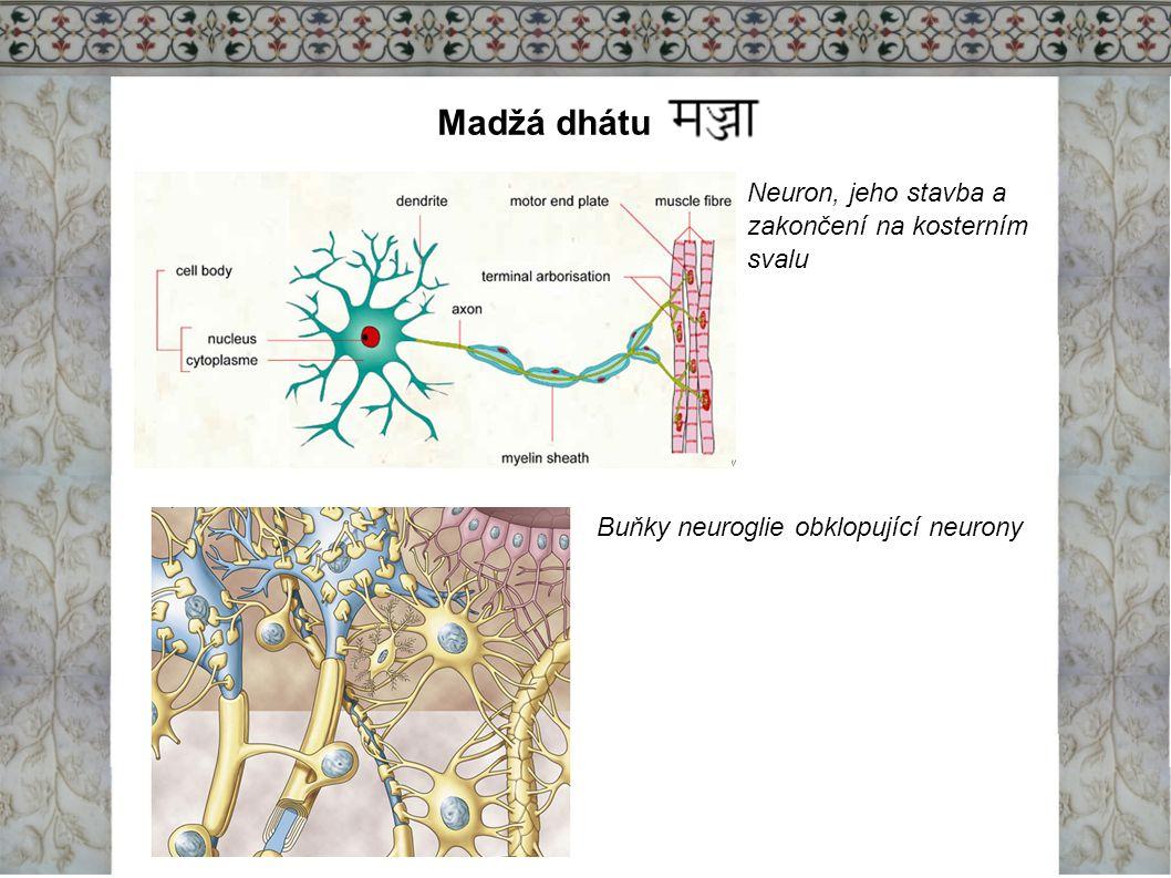 Madžá dhátu Neuron, jeho stavba a zakončení na kosterním svalu Buňky neuroglie obklopující neurony