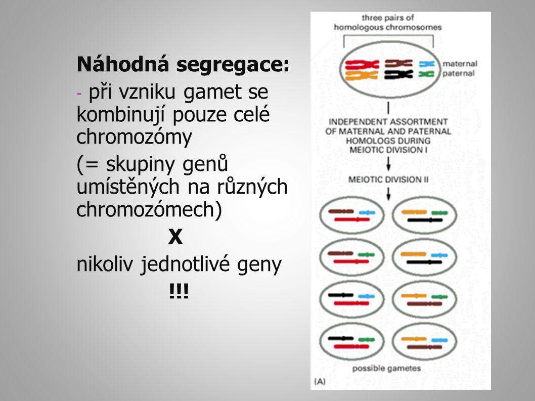Náhodná segregace: - při vzniku gamet se kombinují pouze celé chromozómy (= skupiny genů umístěných na různých chromozómech) X nikoliv jednotlivé geny !!!