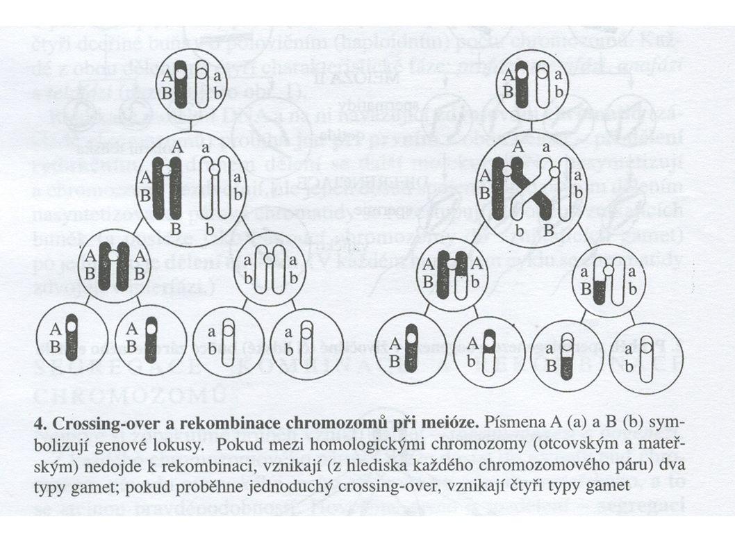 Rekombinace: - některé geny umístěné na chromatidě jednoho z páru chromozómů se mohou s určitou pravděpodobností (dle vzdáleností genů) kombinovat s g