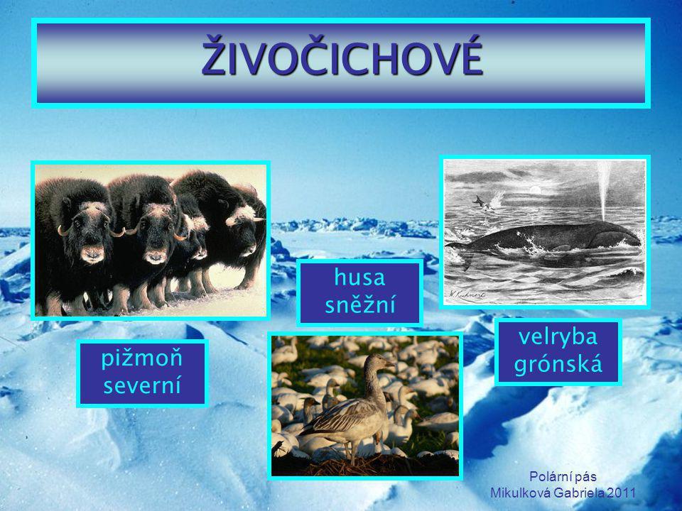 Polární pás Mikulková Gabriela 2011 ŽIVOČICHOVÉ pižmoň severní husa sněžní velryba grónská