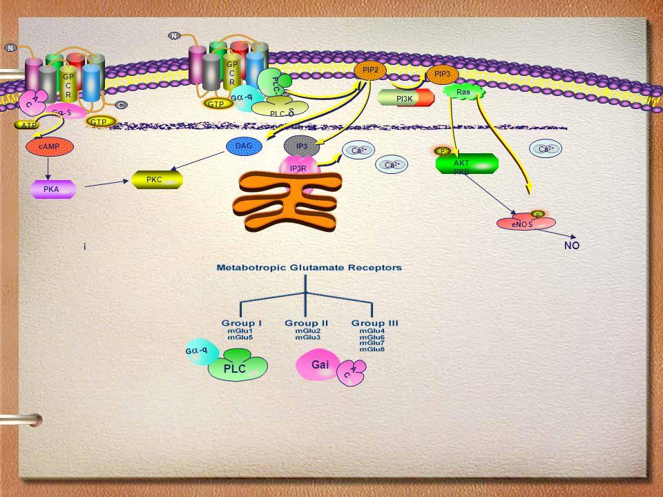 PI3K GP C R C C N N PIP2 PIP3 GP C R C C N N eNOS P AKT PKB P NO DAG ACAC G-qG-q IP3 IP3R cAMP PKA PKC GTP Ca 2+ Ras PLC-  PLC-  G  -S ATP i Gai