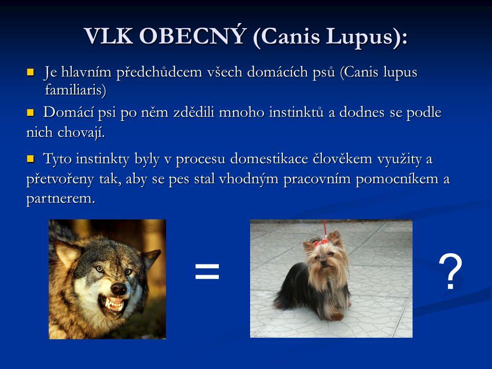 VLK OBECNÝ (Canis Lupus): Je hlavním předchůdcem všech domácích psů (Canis lupus familiaris)  Je hlavním předchůdcem všech domácích psů (Canis lupus