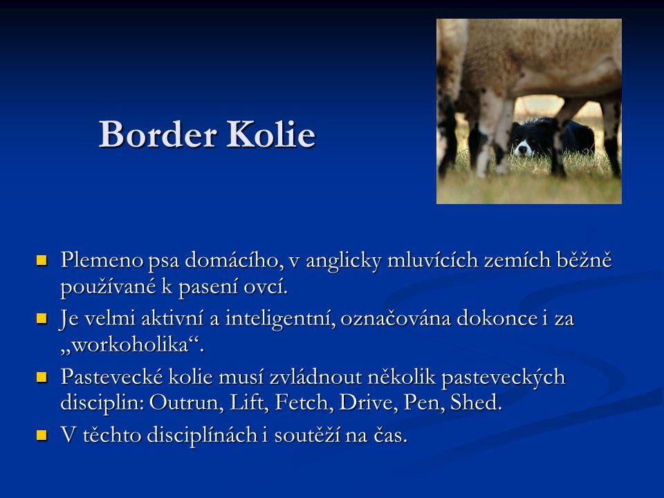 Border Kolie Plemeno psa domácího, v anglicky mluvících zemích běžně používané k pasení ovcí. Plemeno psa domácího, v anglicky mluvících zemích běžně