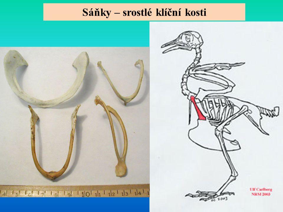 Sáňky – srostlé klíční kosti