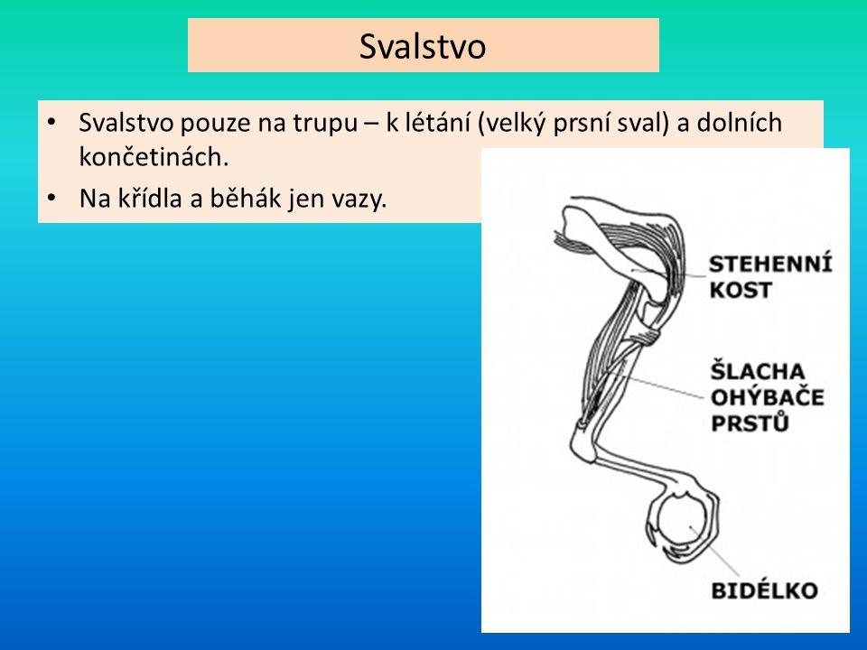Svalstvo Svalstvo pouze na trupu – k létání (velký prsní sval) a dolních končetinách. Na křídla a běhák jen vazy.