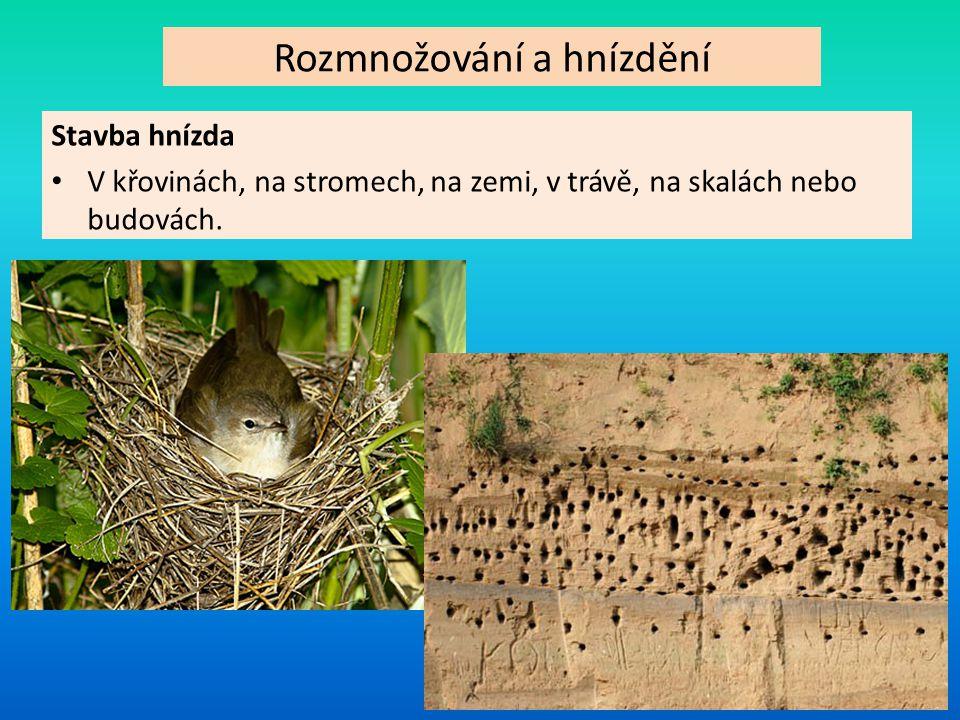 Rozmnožování a hnízdění Stavba hnízda V křovinách, na stromech, na zemi, v trávě, na skalách nebo budovách.