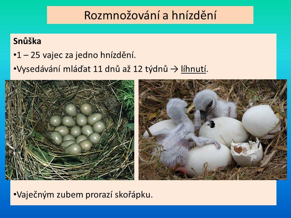 Rozmnožování a hnízdění Snůška 1 – 25 vajec za jedno hnízdění. Vysedávání mláďat 11 dnů až 12 týdnů → líhnutí. Vaječným zubem prorazí skořápku.