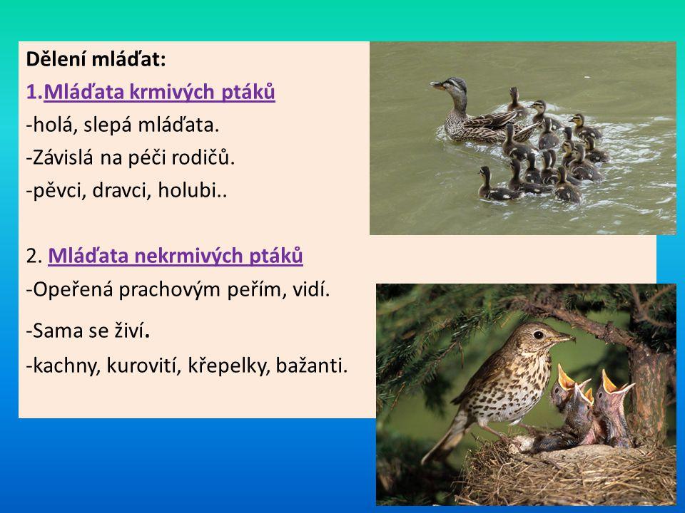Dělení mláďat: 1.Mláďata krmivých ptáků -holá, slepá mláďata. -Závislá na péči rodičů. -pěvci, dravci, holubi.. 2. Mláďata nekrmivých ptáků -Opeřená p