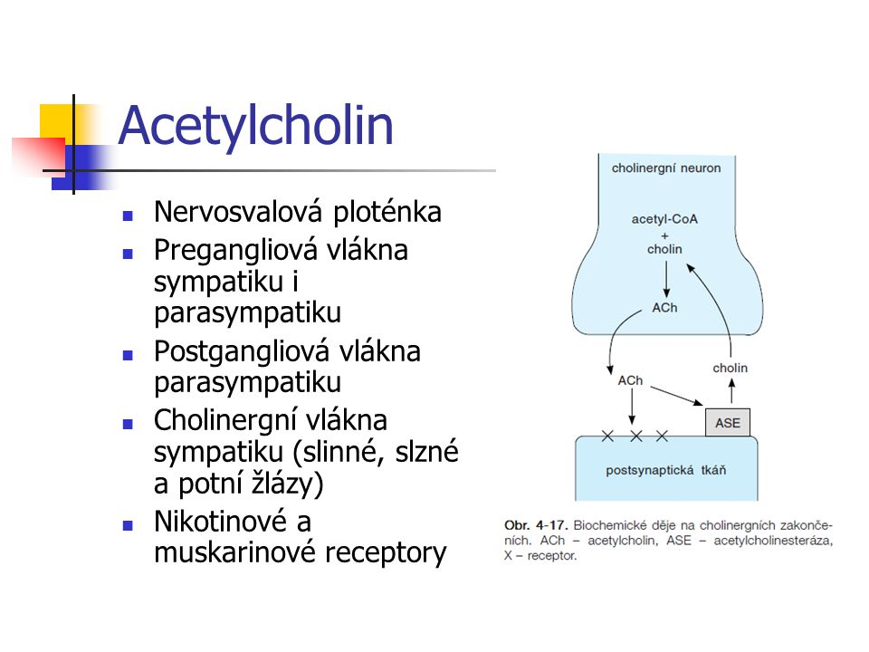 Acetylcholin Nervosvalová ploténka Pregangliová vlákna sympatiku i parasympatiku Postgangliová vlákna parasympatiku Cholinergní vlákna sympatiku (slin