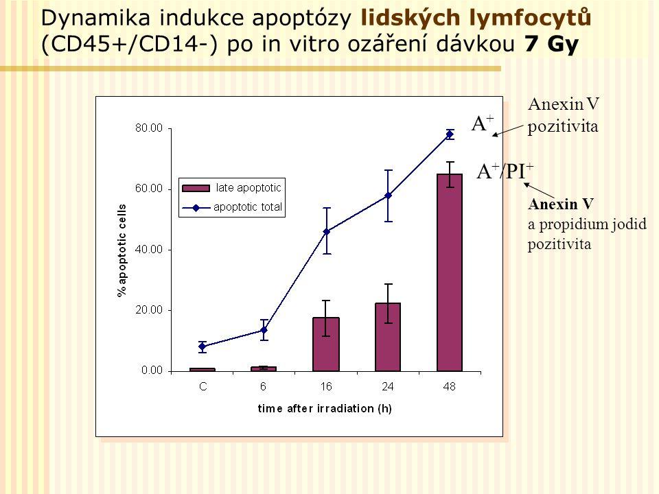 Dynamika indukce apoptózy lidských lymfocytů (CD45+/CD14-) po in vitro ozáření dávkou 7 Gy A+A+ A + /PI + Anexin V pozitivita Anexin V a propidium jod