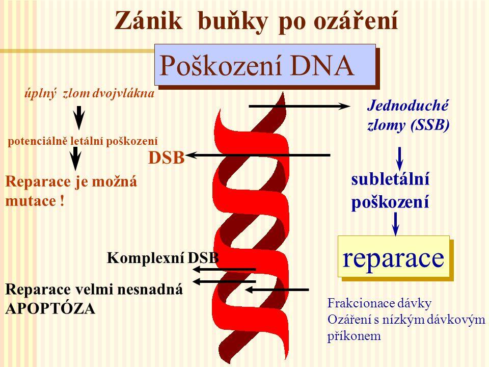 Zánik buňky po ozáření Poškození DNA Jednoduché zlomy (SSB) subletální poškození reparace Frakcionace dávky Ozáření s nízkým dávkovým příkonem úplný z