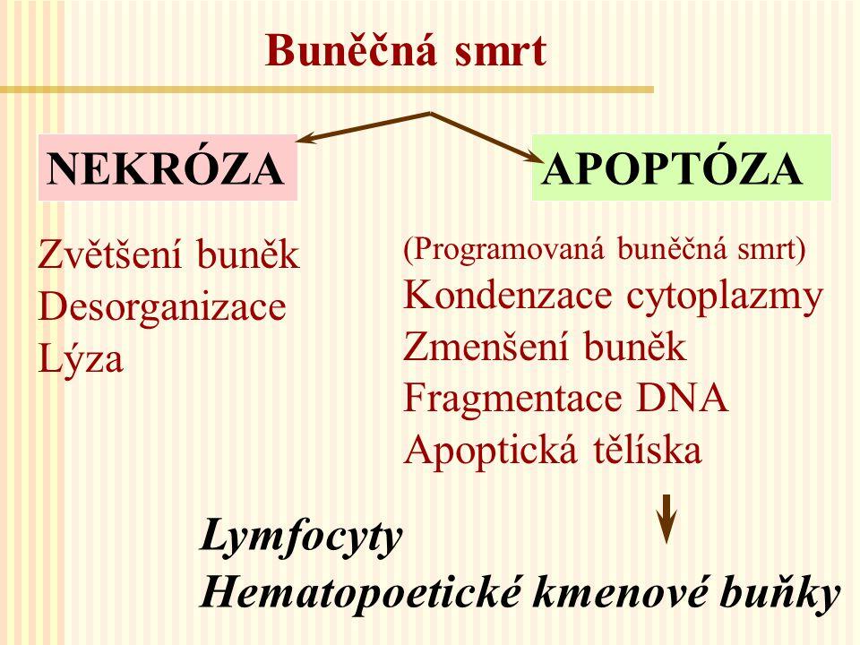 Metody stanovení apoptózy Morfologická detekce apoptózy na cytospinových preparátech barvených Giemza-Romanovski Identifikace podle kondenzace a fragmentace jader a protruzí buněčného povrchu Stanovení velikosti a granularity buněk (side a forward scater) Analýza přítomnosti fosfatidylserinu (PS) na povrchu buněk použitím APOPTESTU TM -FITC (DAKO) pro dvojí značení Annexin V- FITC (vazba k PS) a propidium jodid (detekující jadernou DNA) Stanovení mitochondriálního antigenu APO 2.7 bez a s permeabilizací Flow-cytometrická analýza buněčného cyklu a stanovení sub-diploidního obsahu DNA (sub-G 1 buňky)