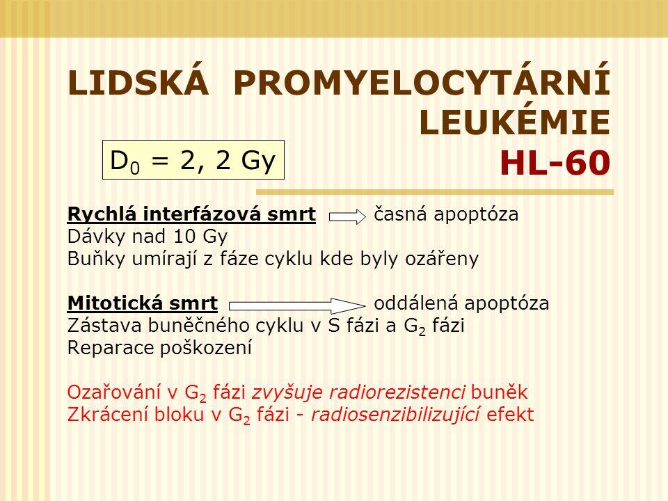 LIDSKÁ PROMYELOCYTÁRNÍ LEUKÉMIE HL-60 Rychlá interfázová smrt časná apoptóza Dávky nad 10 Gy Buňky umírají z fáze cyklu kde byly ozářeny Mitotická smr