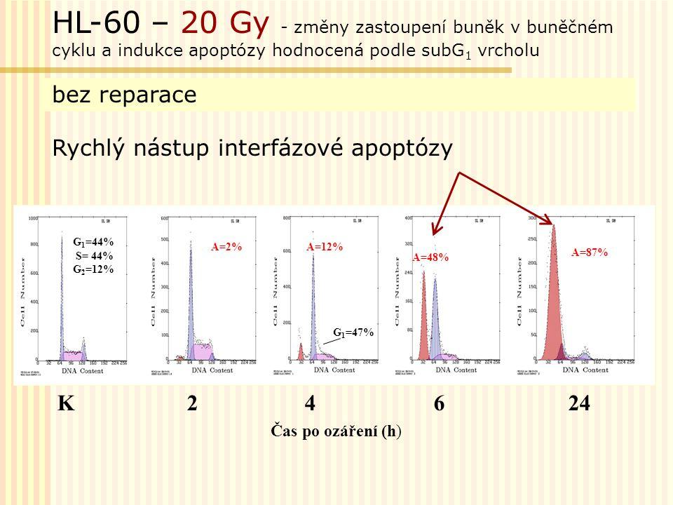 G 1 =42,2% S =45,4% G 2 =12,4% K 6 h 24 h 72 h 85% 62% HL-60 – 6 Gy - změny zastoupení buněk v buněčném cyklu a indukce apoptózy hodnocená podle subG 1 vrcholu reparace poškození oddálená (postmitotická) apoptóza Oddálená apoptóza 144 h