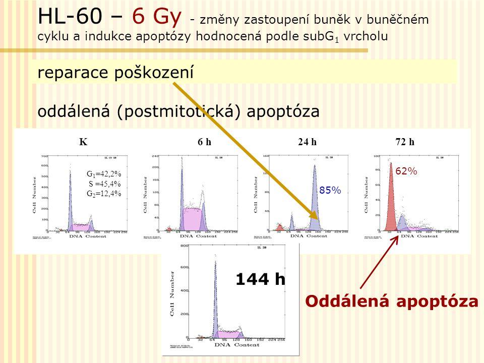 Vliv ozáření s vysokým-0,6 Gy /1 minutu (O) a nízkým - 3,9 mGy /1minutu (NO) dávkovým příkonem na průběh buněčného cyklu a indukci apoptózy u buněk HL-60 ozářených dávkou 10 Gy.