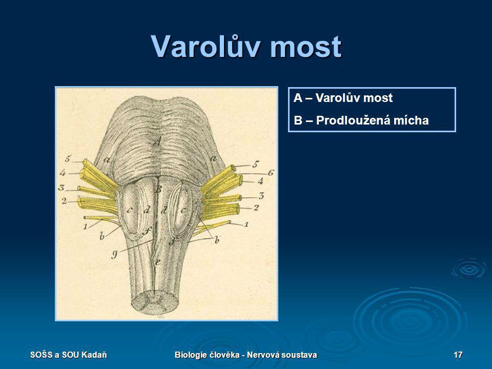 SOŠS a SOU KadaňBiologie člověka - Nervová soustava17 Varolův most A – Varolův most B – Prodloužená mícha