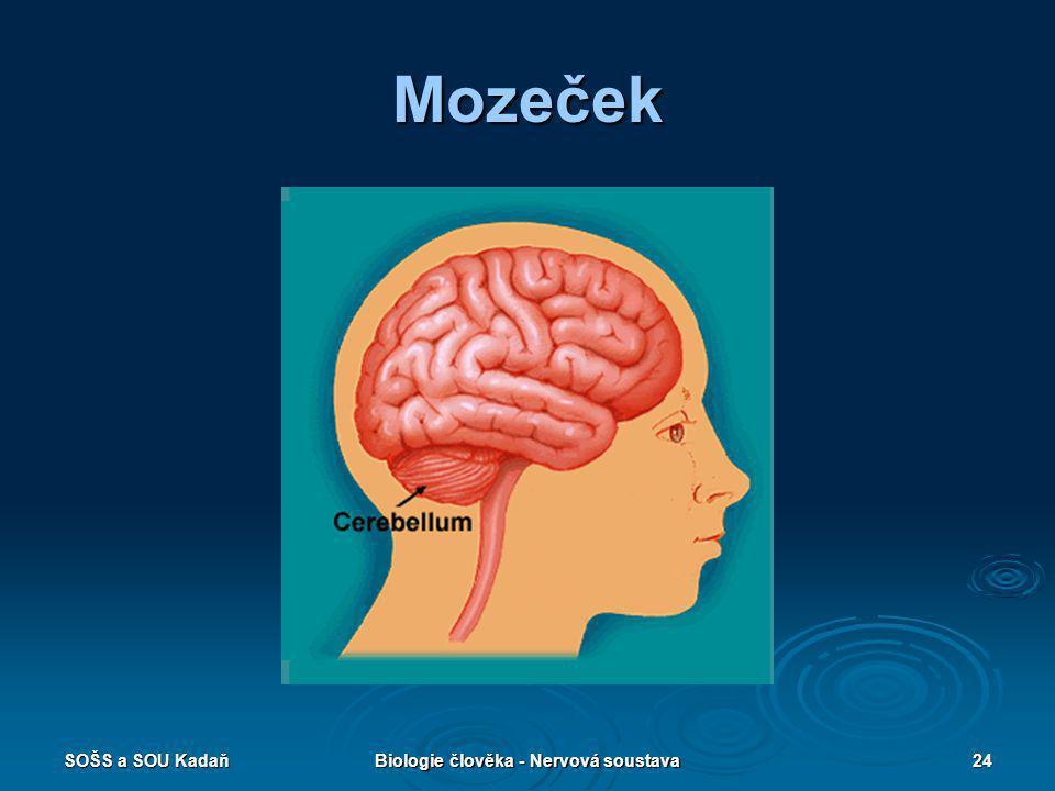 SOŠS a SOU KadaňBiologie člověka - Nervová soustava24 Mozeček