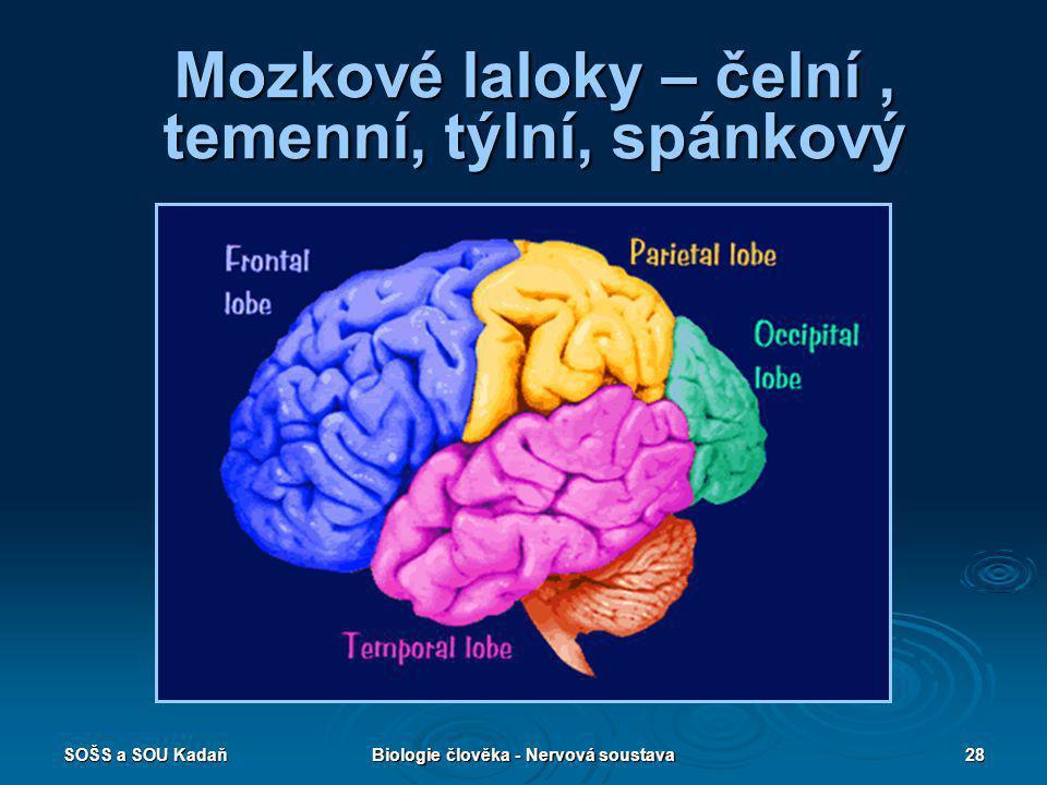 SOŠS a SOU KadaňBiologie člověka - Nervová soustava28 Mozkové laloky – čelní, temenní, týlní, spánkový