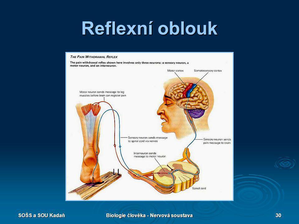 SOŠS a SOU KadaňBiologie člověka - Nervová soustava30 Reflexní oblouk