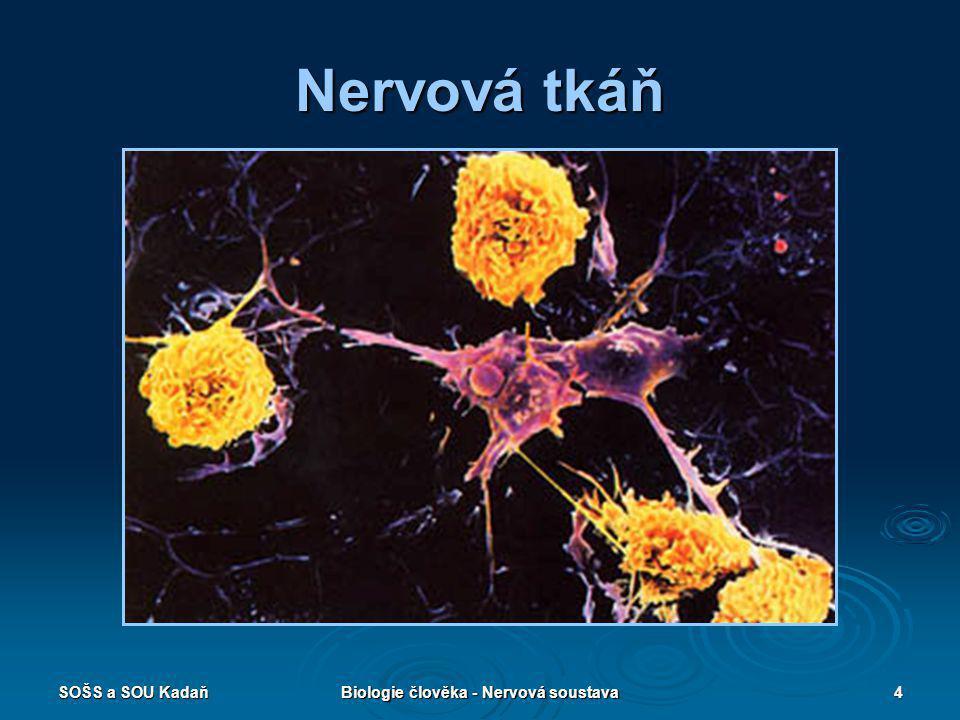SOŠS a SOU KadaňBiologie člověka - Nervová soustava4 Nervová tkáň