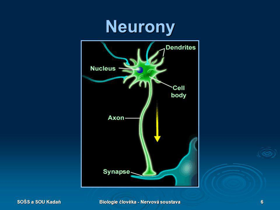 SOŠS a SOU KadaňBiologie člověka - Nervová soustava6 Neurony