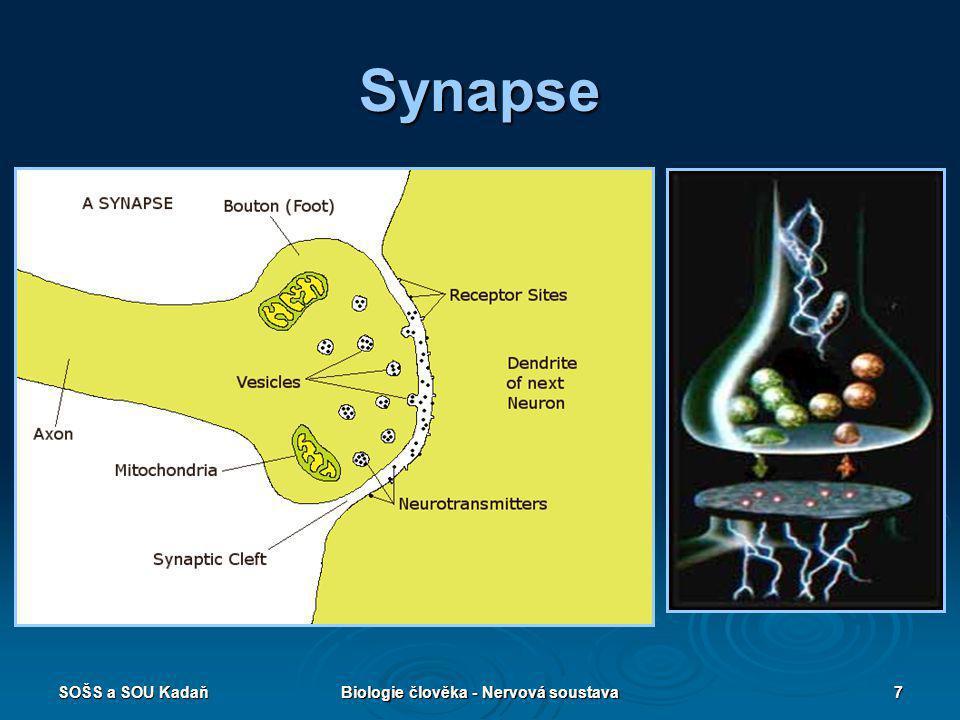 SOŠS a SOU KadaňBiologie člověka - Nervová soustava7 Synapse