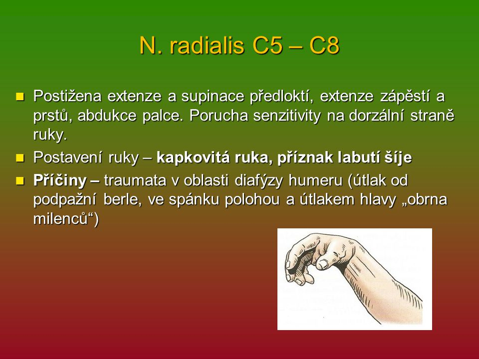 N. radialis C5 – C8 Postižena extenze a supinace předloktí, extenze zápěstí a prstů, abdukce palce. Porucha senzitivity na dorzální straně ruky. Posti