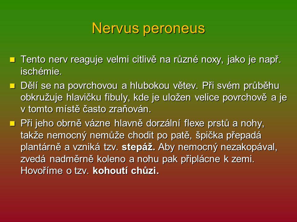 Nervus peroneus Tento nerv reaguje velmi citlivě na různé noxy, jako je např. ischémie. Tento nerv reaguje velmi citlivě na různé noxy, jako je např.