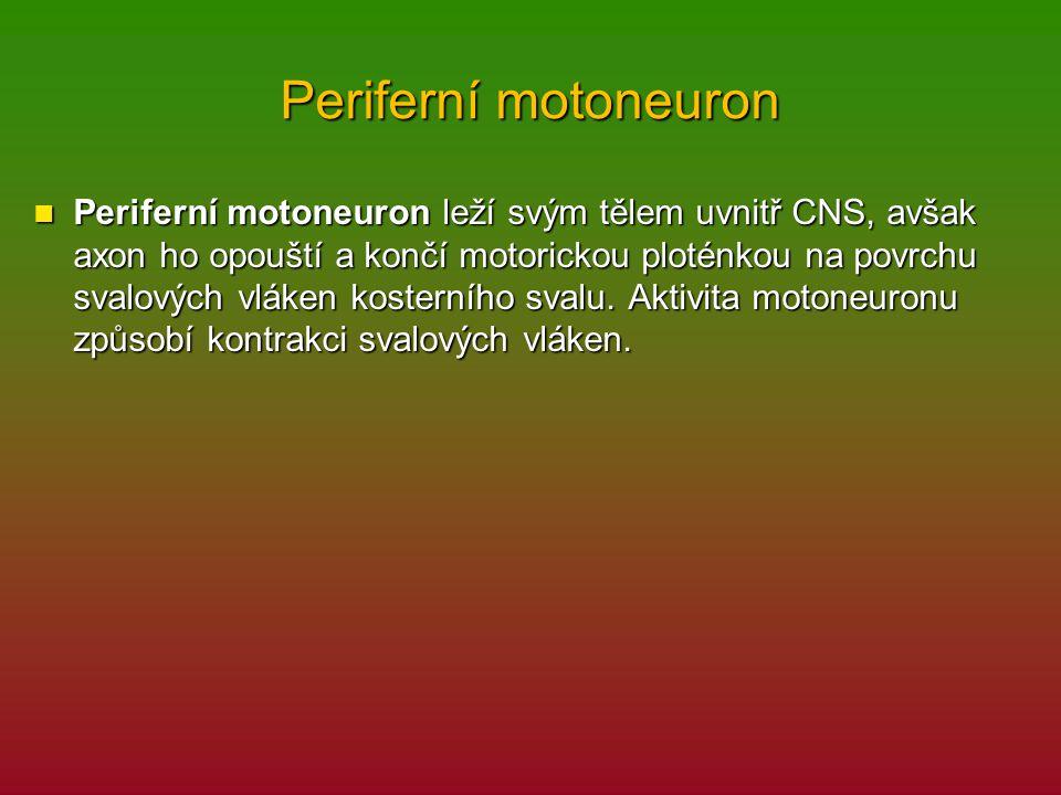 Periferní motoneuron Periferní motoneuron leží svým tělem uvnitř CNS, avšak axon ho opouští a končí motorickou ploténkou na povrchu svalových vláken kosterního svalu.