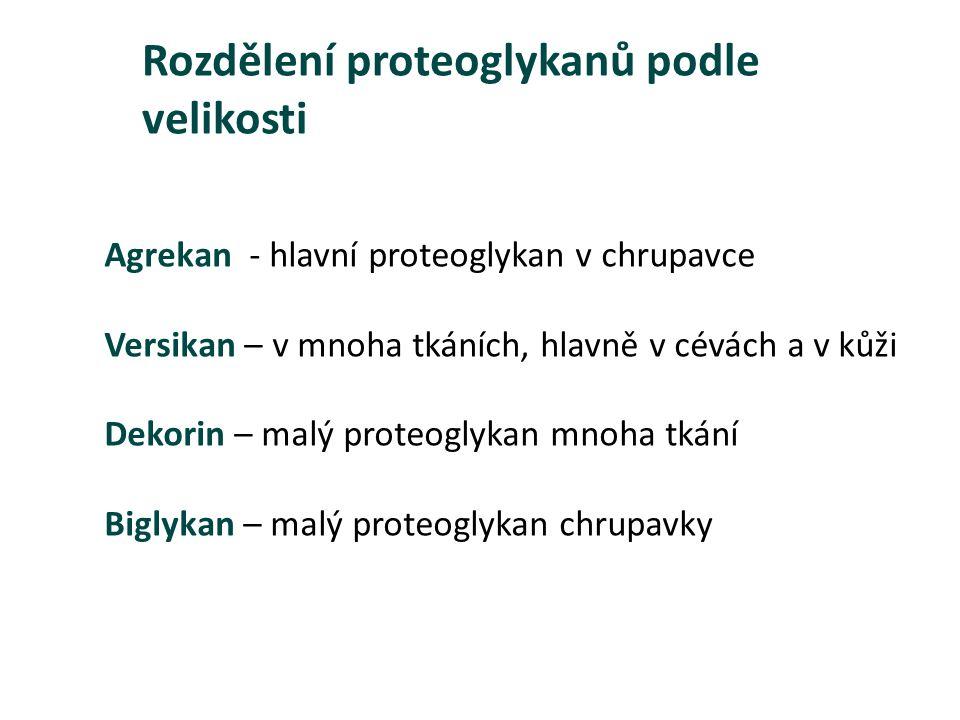 Agrekan - hlavní proteoglykan v chrupavce Versikan – v mnoha tkáních, hlavně v cévách a v kůži Dekorin – malý proteoglykan mnoha tkání Biglykan – malý