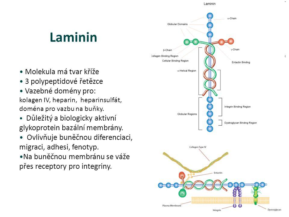 Molekula má tvar kříže 3 polypeptidové řetězce Vazebné domény pro: kolagen IV, heparin, heparinsulfát, doména pro vazbu na buňky. Důležitý a biologick