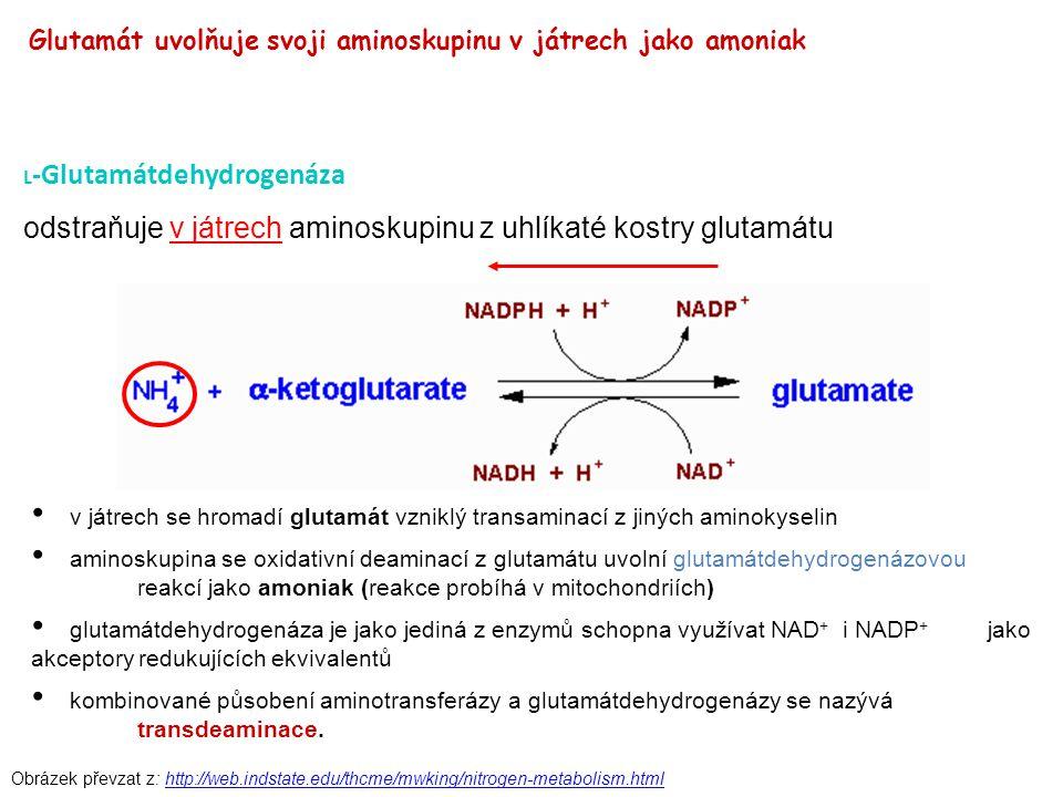 Obrázek převzat z: http://web.indstate.edu/thcme/mwking/nitrogen-metabolism.htmlhttp://web.indstate.edu/thcme/mwking/nitrogen-metabolism.html L -Gluta