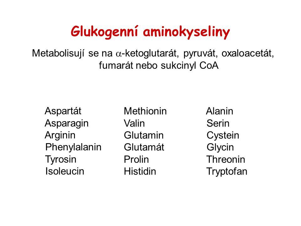 Glukogenní aminokyseliny Metabolisují se na  -ketoglutarát, pyruvát, oxaloacetát, fumarát nebo sukcinyl CoA Aspartát Asparagin Arginin Phenylalanin T