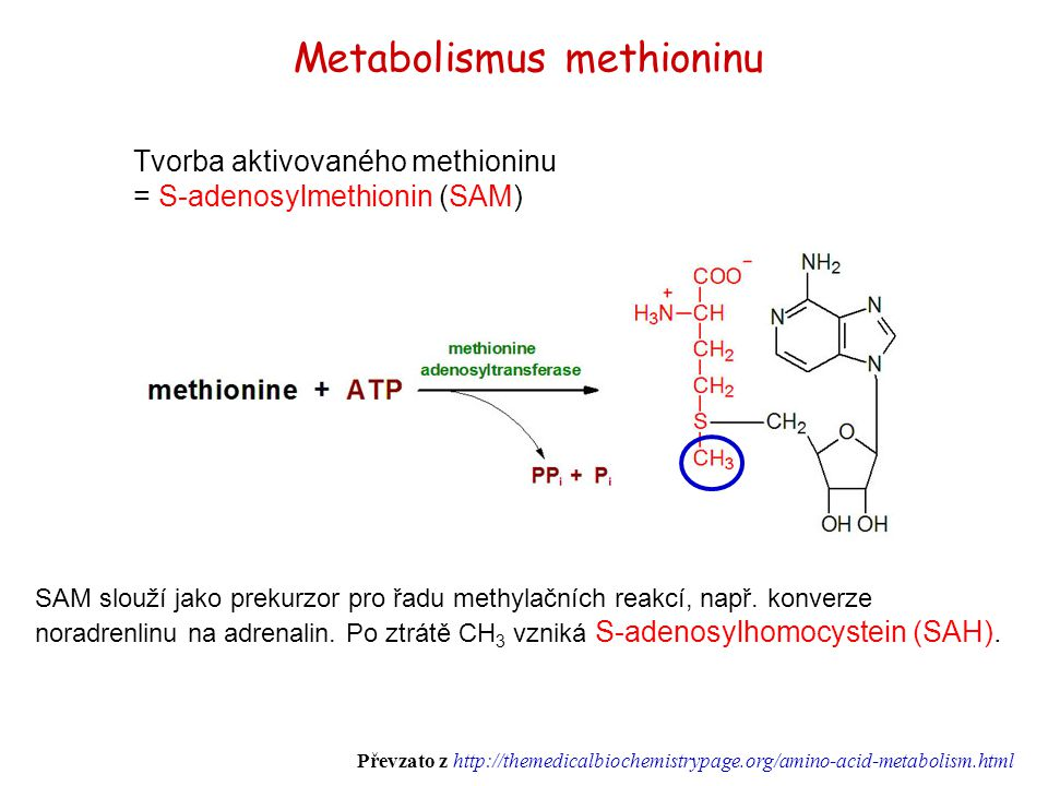Tvorba aktivovaného methioninu = S-adenosylmethionin (SAM) Metabolismus methioninu SAM slouží jako prekurzor pro řadu methylačních reakcí, např. konve
