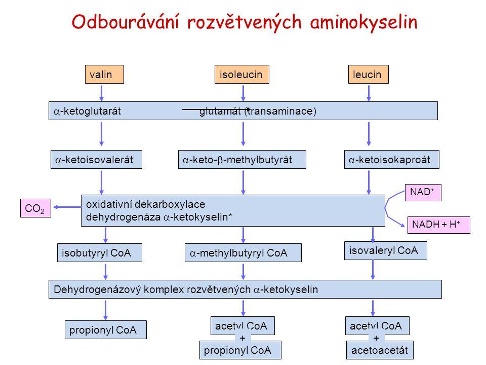 valinisoleucinleucin  -ketoglutarátglutamát (transaminace)  -ketoisovalerát  -keto-  -methylbutyrát  -ketoisokaproát oxidativní dekarboxylace deh