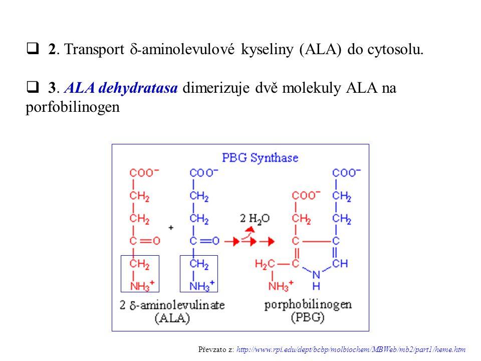  2. Transport  - aminolevulové kyseliny (ALA) do cytosolu.  3. ALA dehydratasa dimerizuje dvě molekuly ALA na porfobilinogen Převzato z: http://www