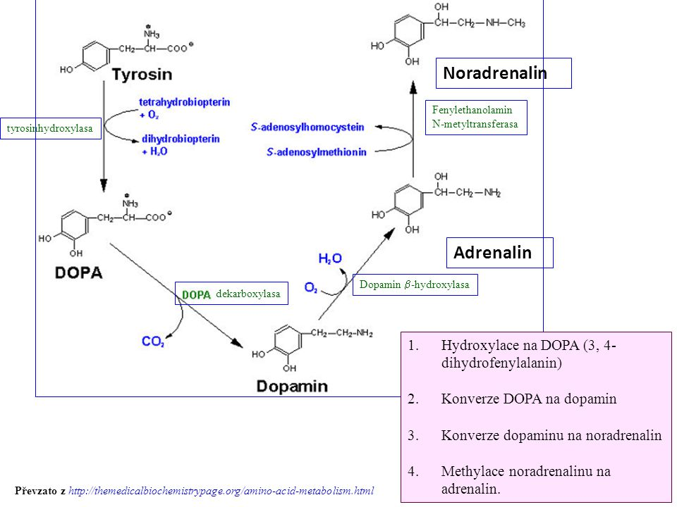 Noradrenalin Adrenalin tyrosinhydroxylasa Fenylethanolamin N-metyltransferasa Dopamin  -hydroxylasa dekarboxylasa 1.Hydroxylace na DOPA (3, 4- dihydr
