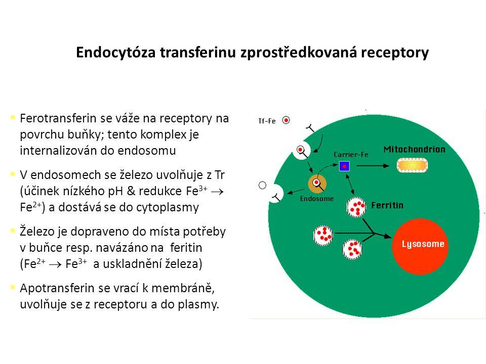Endocytóza transferinu zprostředkovaná receptory  Ferotransferin se váže na receptory na povrchu buňky; tento komplex je internalizován do endosomu 