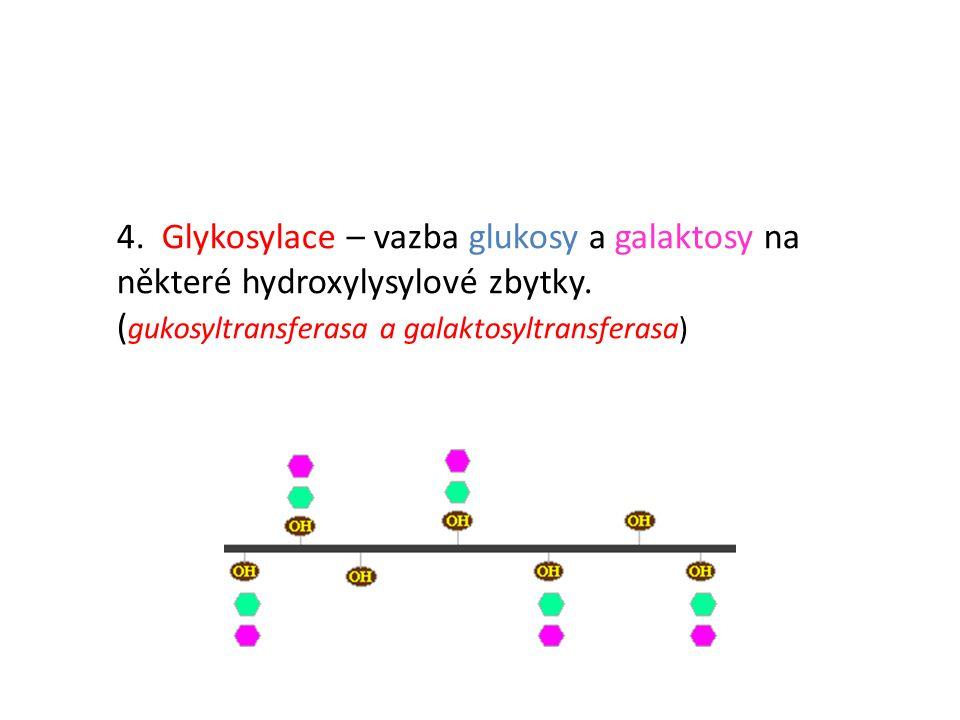 4. Glykosylace – vazba glukosy a galaktosy na některé hydroxylysylové zbytky. ( gukosyltransferasa a galaktosyltransferasa)