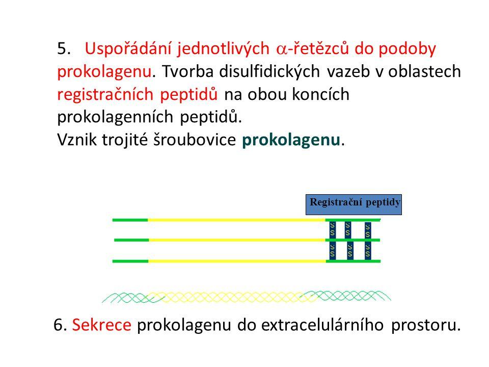 5. Uspořádání jednotlivých  -řetězců do podoby prokolagenu. Tvorba disulfidických vazeb v oblastech registračních peptidů na obou koncích prokolagenn