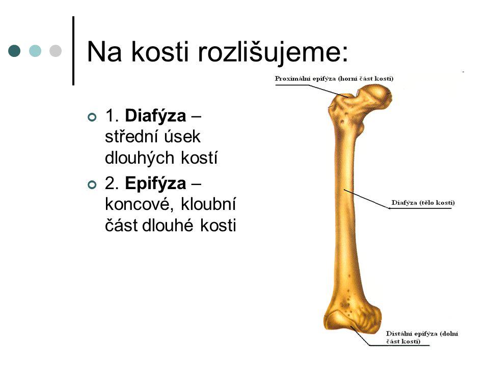 Na kosti rozlišujeme: 1. Diafýza – střední úsek dlouhých kostí 2. Epifýza – koncové, kloubní část dlouhé kosti