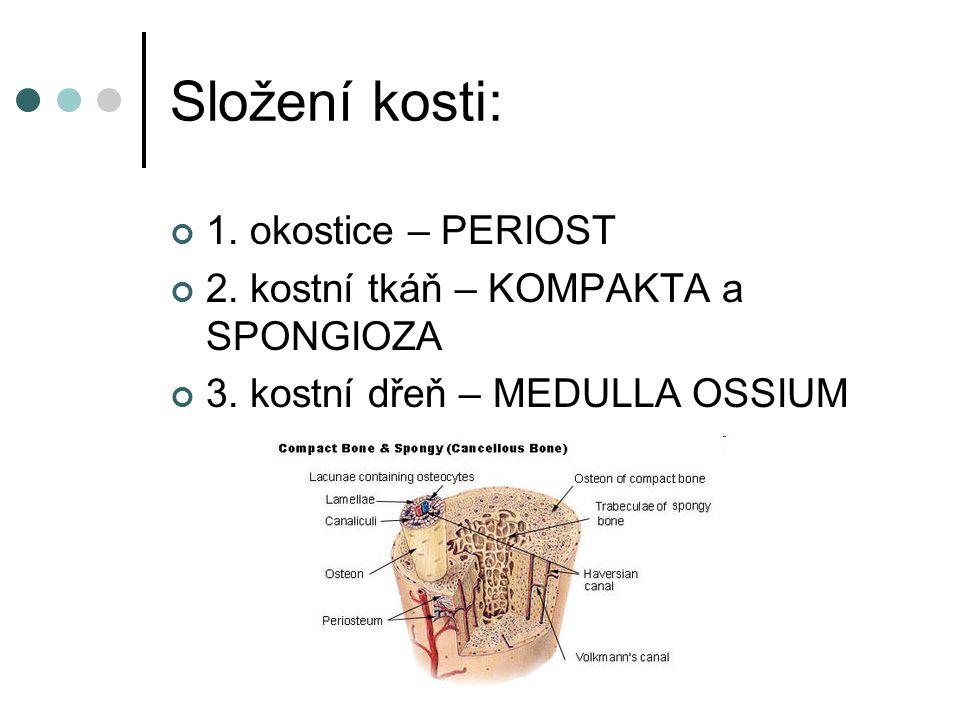Složení kosti: 1. okostice – PERIOST 2. kostní tkáň – KOMPAKTA a SPONGIOZA 3. kostní dřeň – MEDULLA OSSIUM