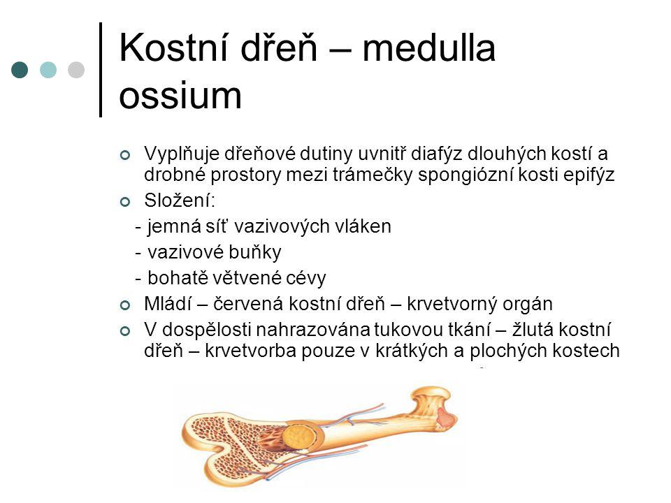 Kostní dřeň – medulla ossium Vyplňuje dřeňové dutiny uvnitř diafýz dlouhých kostí a drobné prostory mezi trámečky spongiózní kosti epifýz Složení: - j