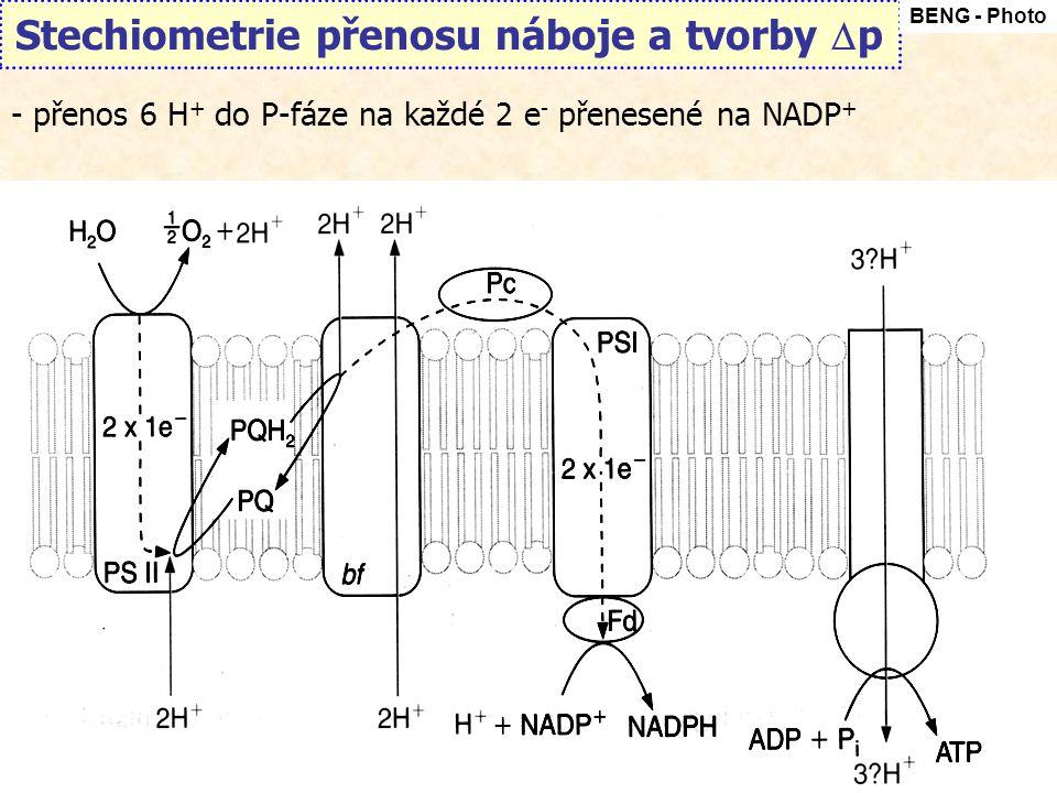 Stechiometrie přenosu náboje a tvorby  p BENG - Photo - přenos 6 H + do P-fáze na každé 2 e - přenesené na NADP +